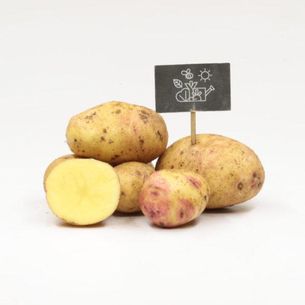 Pommes de terre chair farineuse Carolus