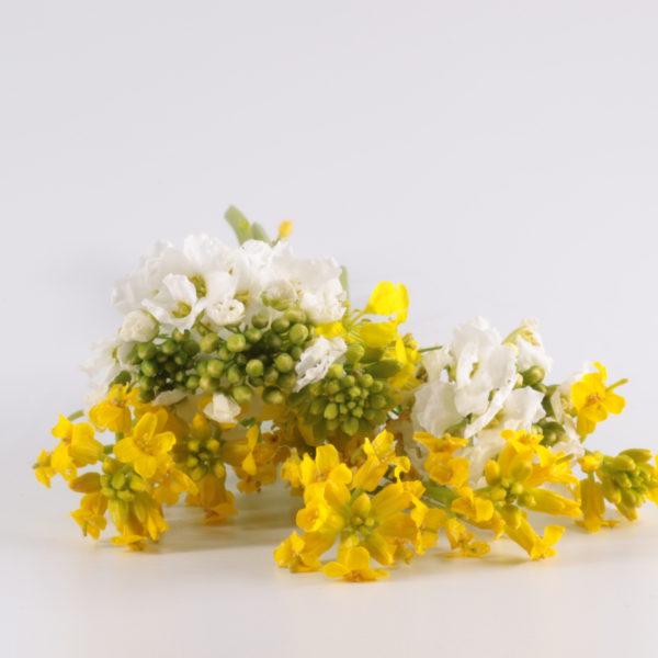 Fleurs de choux