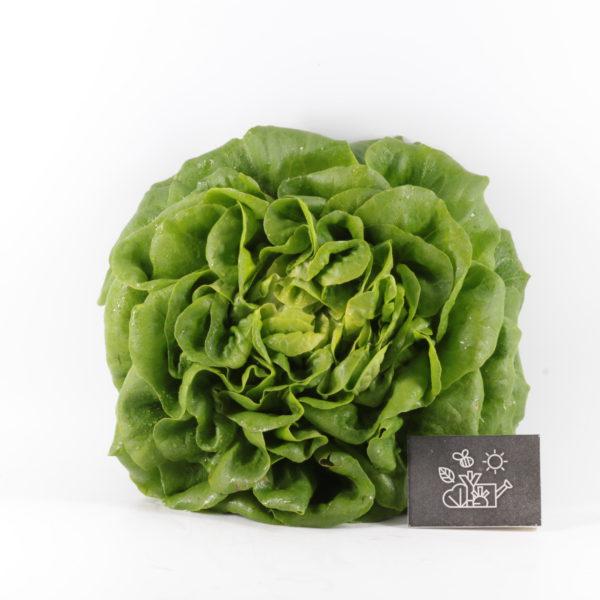 Laitue salanova ronde verte