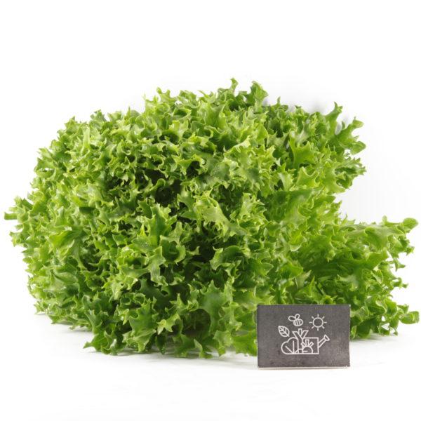Laitue salanova frisee verte