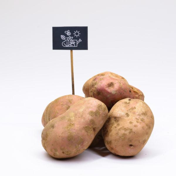 Pommes de terre chair farineuse Sarpo Mira